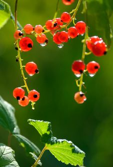 Free Berries Of A Red Currant. Royalty Free Stock Photos - 9078028