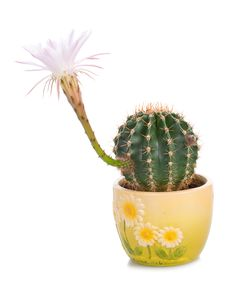 Free Cactus Florescence Time Stock Images - 9078244