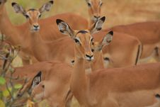 Free Impala Herd Stock Photos - 9078393