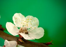 Free Spring Blossom On Green Royalty Free Stock Photography - 9079147
