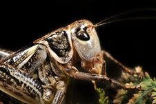 Free Grasshopper Royalty Free Stock Images - 9079469