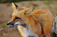 Free Close Up Photo Of True Fox Animal At Daytime Stock Image - 90716321