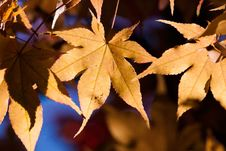 Free Autumn Leaves In Sunlight Royalty Free Stock Photos - 90717098