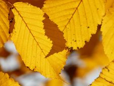 Free Leaf, Yellow, Deciduous, Autumn Stock Photo - 90798790