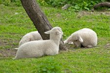 Free Lambs Stock Photo - 9081130