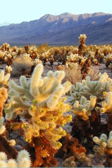 Free Cholla Cactus Royalty Free Stock Image - 9081526
