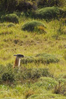 Free Guanaco In Torres Del Paine Royalty Free Stock Images - 9081569
