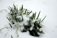 Snowdrops Under Snow Stock Photos