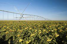 Free Irrigated Sunflower Field Stock Photo - 9082910