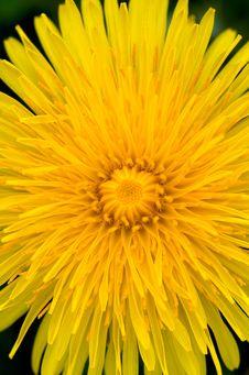 Free Dandelion Stock Images - 9084354