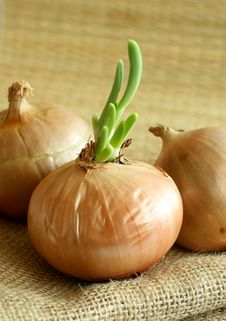 Free Onions On A Sacking, Closeup Royalty Free Stock Image - 9084986