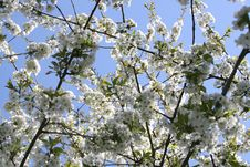 Free Blooming Tree Stock Photography - 90929862