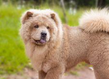 Free Spitz Dog Stock Photo - 90929980