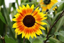Free Flower, Sunflower, Sunflower Seed, Flora Stock Photography - 90930172