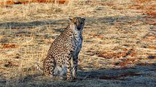 Free Cheetah, Wildlife, Terrestrial Animal, Mammal Royalty Free Stock Photography - 90930427