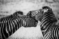 Free Wildlife, Zebra, White, Black And White Royalty Free Stock Photography - 90930487