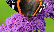 Free Brown Black Orange And White Butterfly On Purple Flower Stock Photos - 90994983