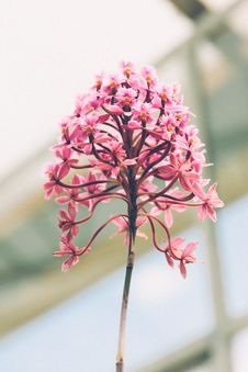 Free Pink Flower Stock Photography - 90996392