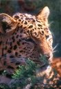 Free Leopard Stock Images - 915574