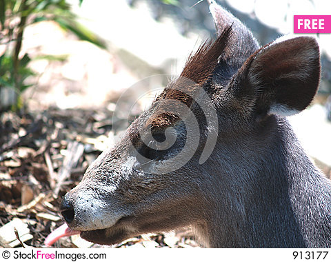 Free Japaneese Deer Royalty Free Stock Photography - 913177