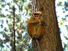 Free Monkey Royalty Free Stock Image - 910346