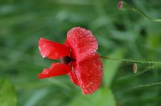 Free Poppy Stock Images - 910904