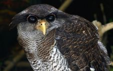 Free Owl Stock Photos - 911663