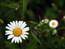 Free A Daisy Up Front With Friends Royalty Free Stock Photography - 911697