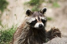 Free Another Raccoon Stock Photography - 912522