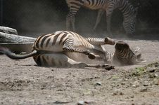 Free Rolling Zebra On Dust Royalty Free Stock Photography - 912557