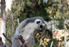 Free Lemur Eating Stock Image - 912601