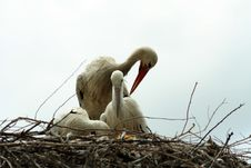 Free Nesting Storks Grooming Each Other Royalty Free Stock Image - 913036