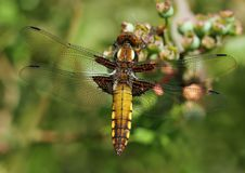 Free Dragonfly Beauty Royalty Free Stock Photos - 914488