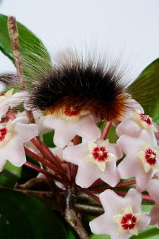 Free Hoya Carnosa With Brown Caterpillar Royalty Free Stock Photos - 914508