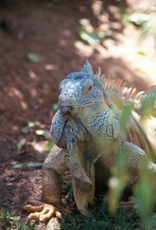 Free Green Iguana Royalty Free Stock Photos - 915068