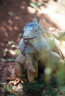 Free Green Iguana Stock Photography - 915092