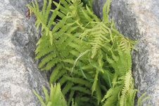 Free Fern Growing In Grike Stock Photos - 915253