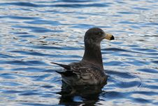 Free Gull On Crystal Water Royalty Free Stock Photos - 915268