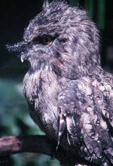 Screech Owl Royalty Free Stock Images