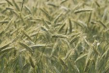 Free Swaying Wheat Royalty Free Stock Images - 915409