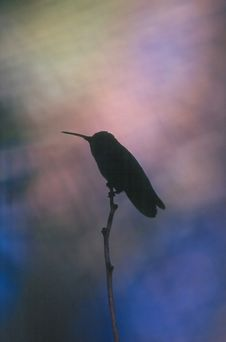 Free Hummingbird Royalty Free Stock Image - 915426