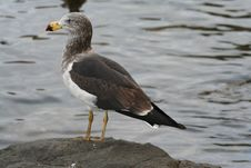 Free Seagull Stock Images - 915454