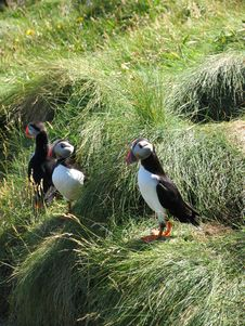 Free A Group Of Puffins Royalty Free Stock Photo - 915605