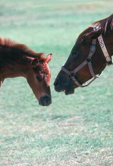 Mare And Her Colt Royalty Free Stock Photography