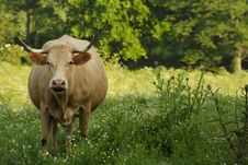 Free A Cow Stock Images - 915994