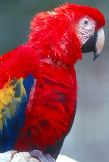 Free Scarlet Macaw Stock Images - 916184