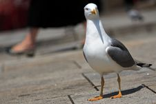 Free Seagull Stock Images - 917324