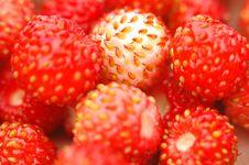 Free Wild Strawberry Stock Photography - 917492