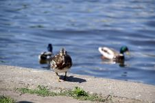 Free Different Duck Royalty Free Stock Image - 918096