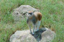 Monkey  2 Royalty Free Stock Photo